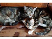 Girl kittens for sale