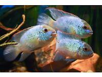 TRUE GEMS in anybody's aquarium. Classical~pure high quality ELECTRIC BLUE ACARAS.