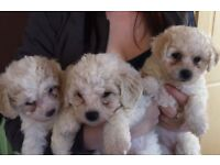 2 female bichon frisée pups for sale