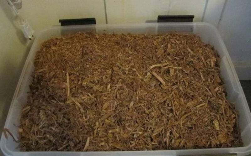 ACACIA CONFUSA ROOT BARK - DRIED | Plants | Gumtree