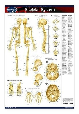 Skeletal System - Medical Anatomy Poster - 24 X 36 Laminated Quick Reference