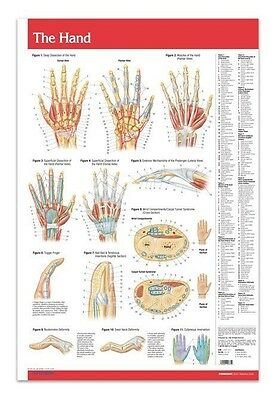 Hand - Joints Articulations - Anatomy Poster 24 X 36 Laminated Reference Guide
