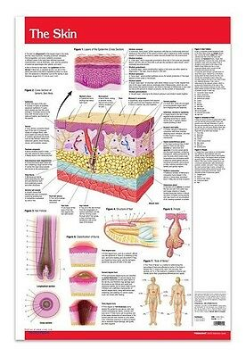Skin Poster - Medical Anatomy Poster - 24 X 36 Laminated Quick Reference
