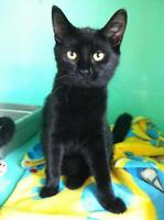 "Young Female Cat - Domestic Short Hair: ""Hope"""