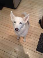 "Adult Female Dog - Husky: ""URGENT Belle"""