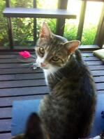 "Adult Female Cat - Domestic Short Hair: ""Meow Meow"""