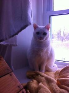 "Senior Female Cat - Domestic Short Hair-white: ""TWICE LUCKY"""