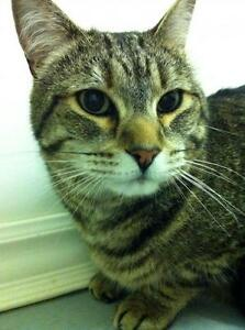 "Adult Male Cat - Domestic Short Hair - brown: ""Loki"""