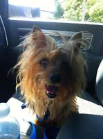 "Adult Female Dog - Yorkshire Terrier Yorkie: ""Bailey"""