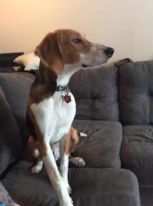 """Young Male Dog - Beagle-Collie: """"Rocky, owner surrender"""""""
