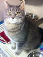 "Adult Male Cat - Domestic Short Hair - gray and white: ""Greyson"""