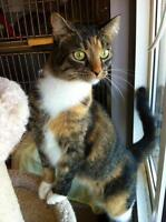 "Adult Female Cat - Domestic Short Hair-Torbie: ""Emmely"""