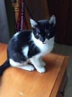"Baby Male Cat - Domestic Short Hair: ""Cactus"""