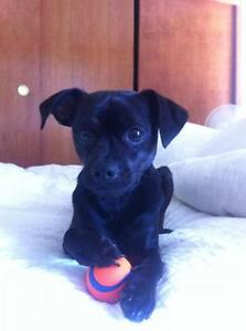 """Young Male Dog - Pug-Terrier: """"Clarence"""""""