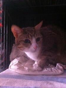 Adult Female  - Domestic Short Hair - buff and white