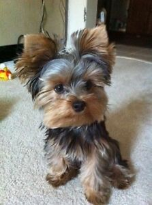 ISO: Pure bred Male Yorkshire Terrier