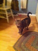 Adult Female  - Domestic Short Hair-Tabby - Brown