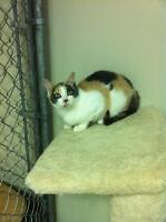 """Young Female Cat - Dilute Calico: """"Mya"""""""
