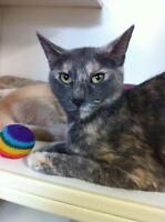 Adult Female  - Dilute Tortoiseshell-Domestic Short Hair