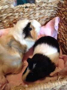 "Young Female Small & Furry - Guinea Pig: ""Daphne and Daisy"""