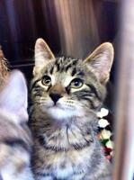 """Young Male Cat - Domestic Short Hair: """"Will"""""""