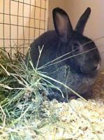 "Adult Female Rabbit - Bunny Rabbit: ""Nutmeg"""