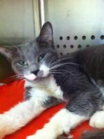 "Young Female Cat - Domestic Short Hair: ""Holly"""