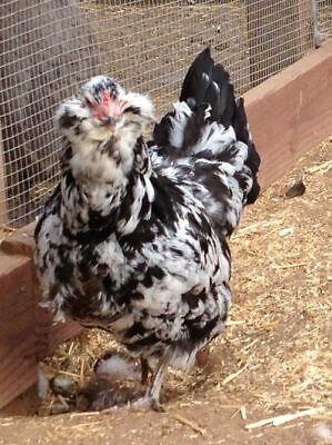6 Mottled Ameraucana Hatching Eggs - Half Dozen Shipped In Foam