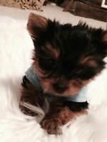Micro BabyDoll TCup Yorkie Boy For Sale