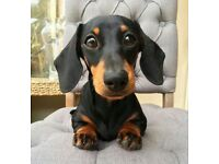 Daschund pup for sale