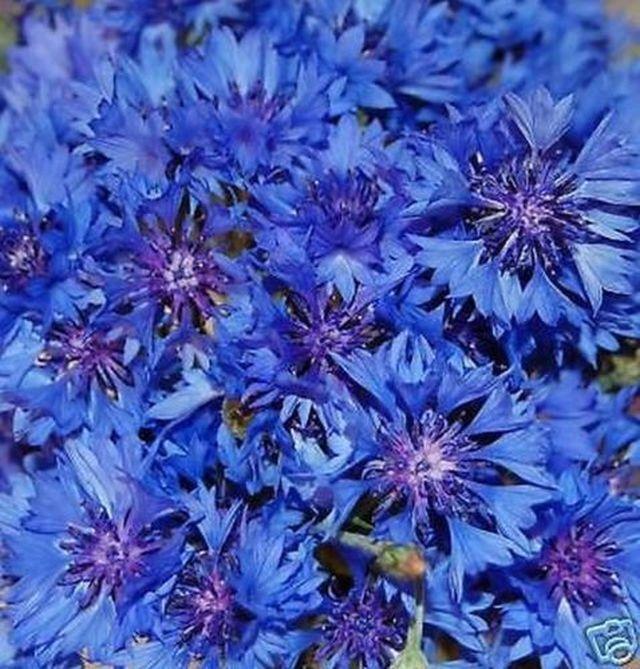 100 samen kornblume blauer junge centaurea cyanus eur 1 00 picclick de. Black Bedroom Furniture Sets. Home Design Ideas