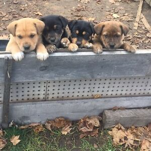 Australian Blue Heeler X Portuguese Cattle Dog Puppies