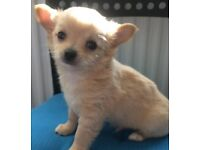 Male long coat chihuahua puppie