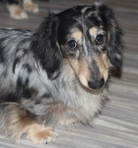 Dachshunds Mini Long Creams aand Smooths CKC Perm Reg'd Breeder
