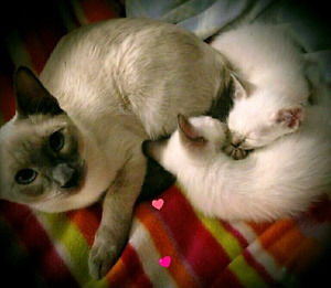 ❤MAGNIFIQUES CHATONS SIAMOIS❤PURE SIAMESE KITTENS