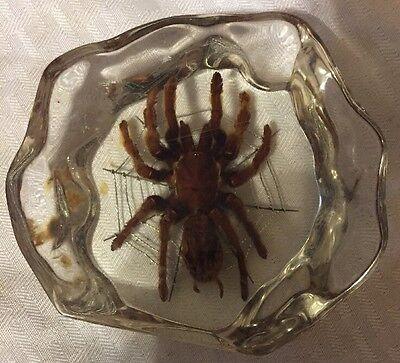 Giant Tarantula Spider Specimen - Large Lucite Paperweight
