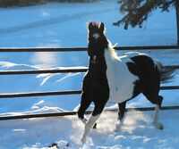 Black & White APHA Stallion Shades