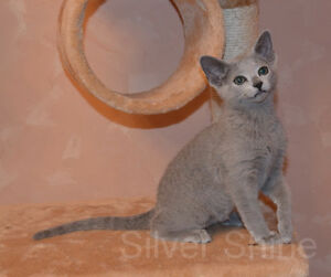 Purebreed  Russian Blue Kittens