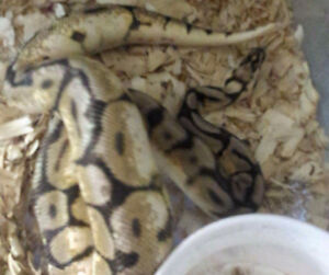 Yb female, male bumblebelly and a tarantula for sale London Ontario image 2