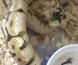 Yb female, male bumblebelly and a tarantula for sale London Ontario image 3