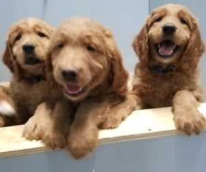 Goldendoodle pups