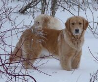 CKC Registered Golden Retriever Female - 8 years old