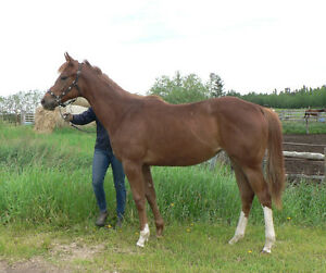 Registered Pretty appendix quarter horse yearling filly