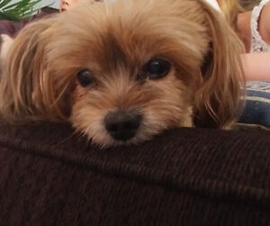 8 year old Yorkie/Pom for rehoming