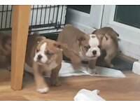 Male British Bulldog puppies for sale