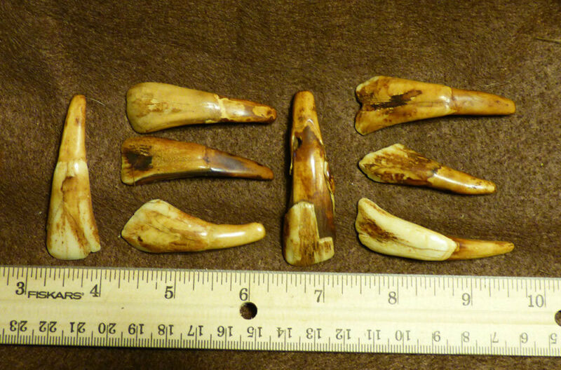Collection of 8 Drilled Buffalo Teeth Indian Ornamental Item For Necklaces