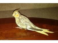 LOST BIRDIE - 'Gus'