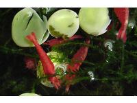 10x PAINTED FIRE (Sakura) Red Cherry Shrimp. St Albans