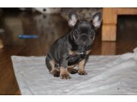 Blue and Tan Triple Carrier Frenchbulldogs