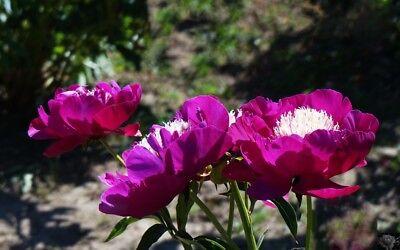 PlantIt Peonies and Treasures
